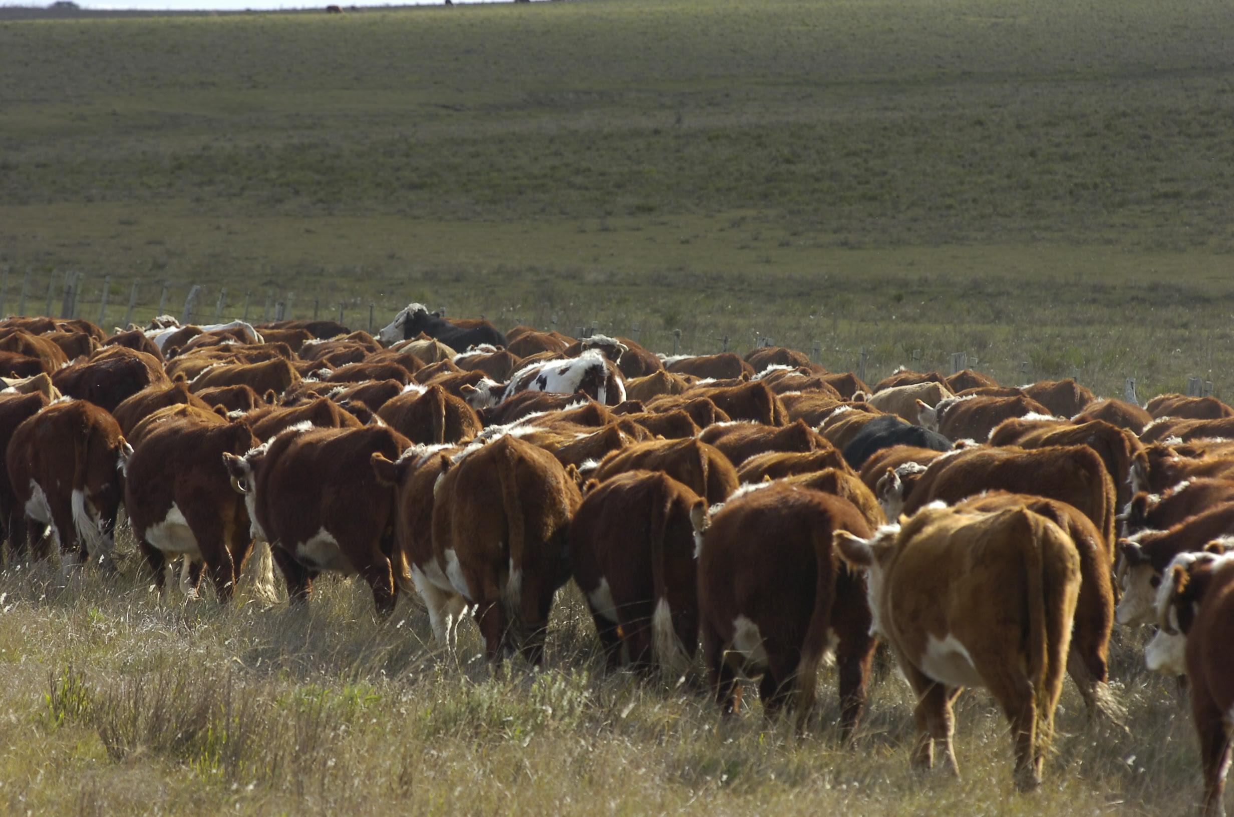 Imagen El impuesto al patrimonio se incrementa más de un 20% por la suba del ganado durante 2019