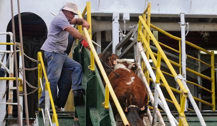 Embarque de  ganado  en pie en el Puerto de  Montevideo , exportacion de  ganado  vacuno a Egipto, ND 20141027, foto Agustin Martinez - Archivo El Pais