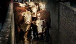uruguay-sube-el-ganado-gordo-y-el-mercado-se-agilita